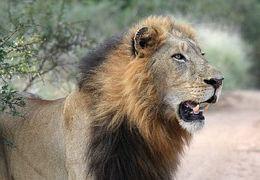 lion-head-1036452__180